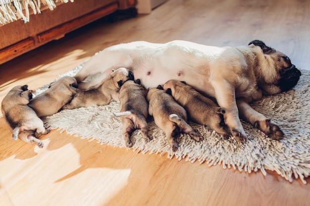 Mère de chien carlin nourrir six chiots à la maison. chien allongé sur un tapis avec des enfants se détendre. du temps en famille