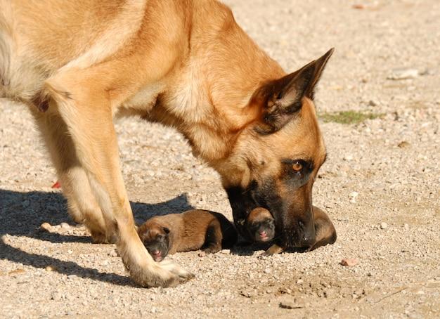 Mère chien et chiots