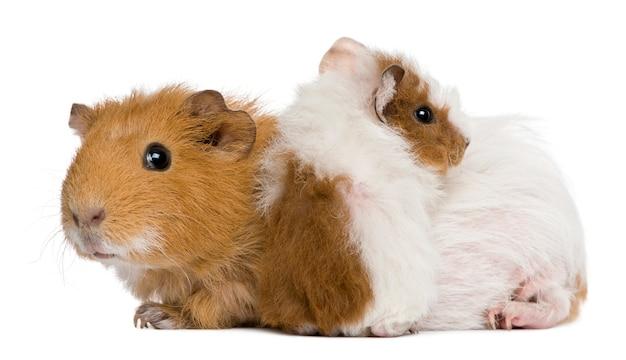 Mère cochon d'inde et son bébé
