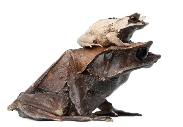 Mère grenouille cornue et son jeune megophrys nasuta en face de fond blanc