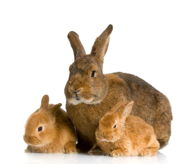 Mère gros plan sur lapin avec son lapin nouveau-né isolé