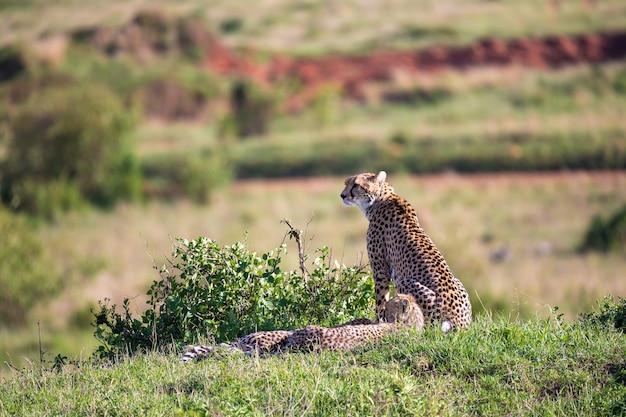 La mère guépard avec deux enfants dans la savane kenyane