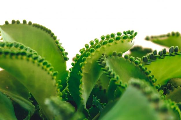 Mère de milliers, mexican hat plant (kalanchoe pinnata) avec sprout. isolé sur fond blanc.