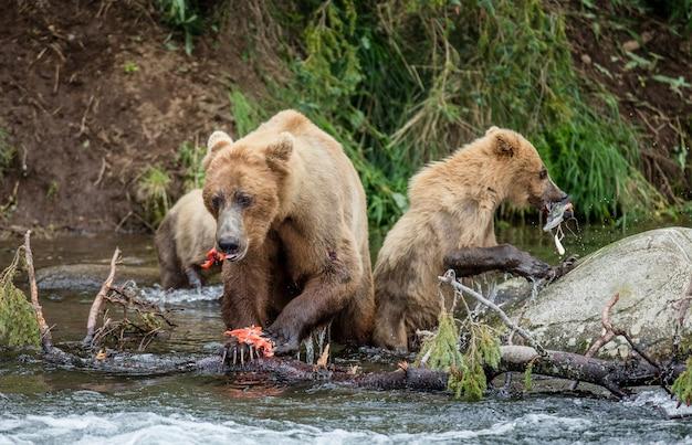 Mère ours brun avec cub mange du saumon dans la rivière