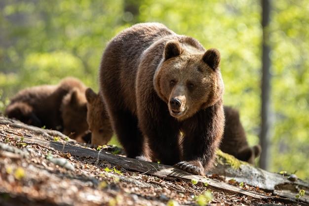 Mère ours brun menant ses deux oursons sur le chemin à travers la forêt