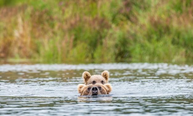 Mère ours brun avec petit dans la rivière