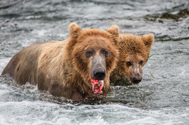 Mère ours brun avec son petit mange du saumon dans la rivière. etats-unis. alaska. parc national de katmai.
