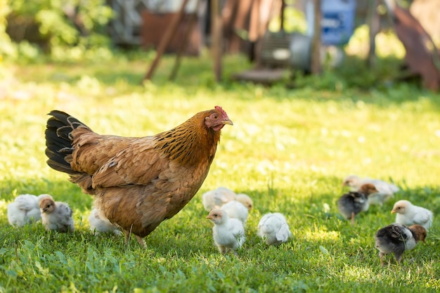 Mère poule avec des poulets dans une cour rurale. poulets dans une herbe dans le village contre des photos de soleil. gallus gallus domesticus. ferme avicole biologique. économie durable. agriculture naturelle. poulets élevés en plein air.