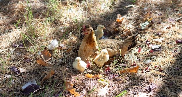 Mère poule avec ses poulets