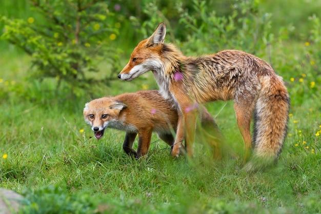 Mère renard roux protégeant son petit sur une prairie au printemps