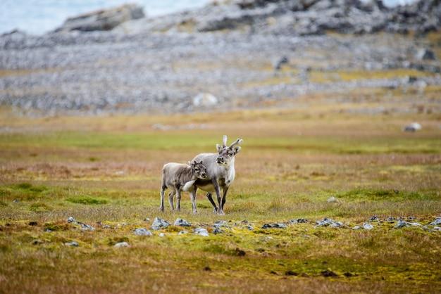 Mère de renne avec cub