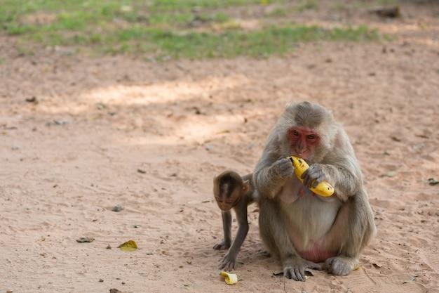 Mère singe et bébé singe est assis sur le sable et mange de la banane