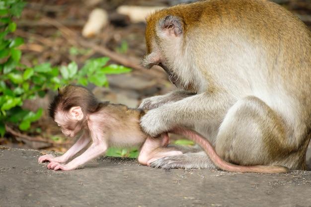 Mère trouver des poux et des tiques pour bébé singe sur le sol