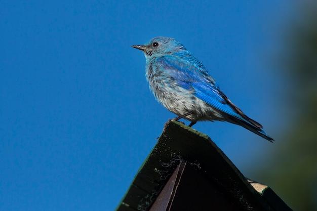 Merle bleu des montagnes se percher sur le toit