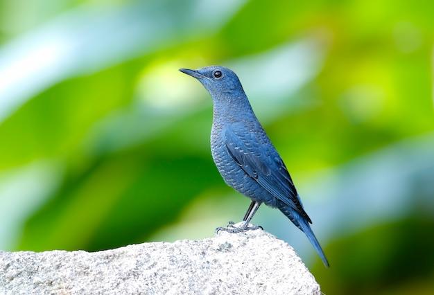 Merle bleu monticola solitarius beaux oiseaux de thaïlande