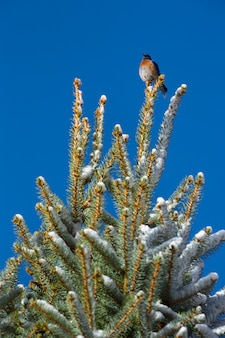 Merle bleu de l'ouest dans l'arbre d'hiver