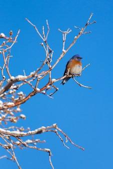 Merle bleu de l'ouest en hiver vertical