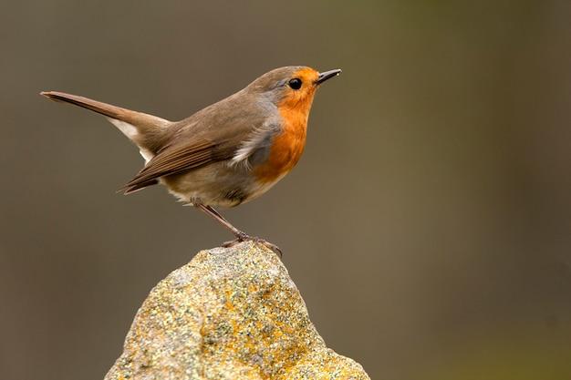 Merle d'europe, oiseaux chanteurs, oiseau, passereau, erithacus rubecula