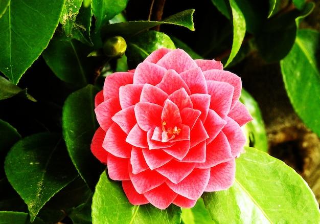 Merveilleuse fleur de pétales géométriques, oxalis versicolor rose.
