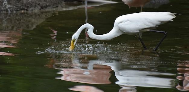 Merveilleux déjeuner au héron blanc dans un étang