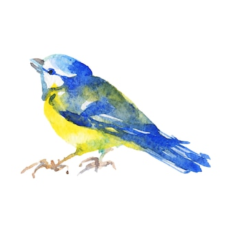 Mésange aquarelle. oiseau dessiné à la main sur blanc