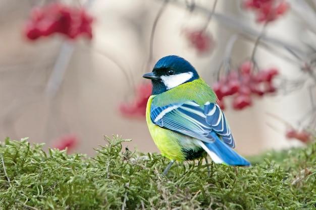 Mésange au plumage coloré assis sur une souche recouverte de mousse verte