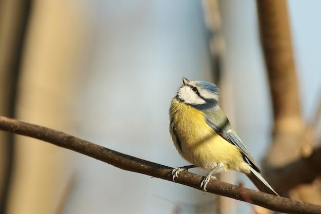 Mésange bleue - parus caeruleus dans la forêt d'automne
