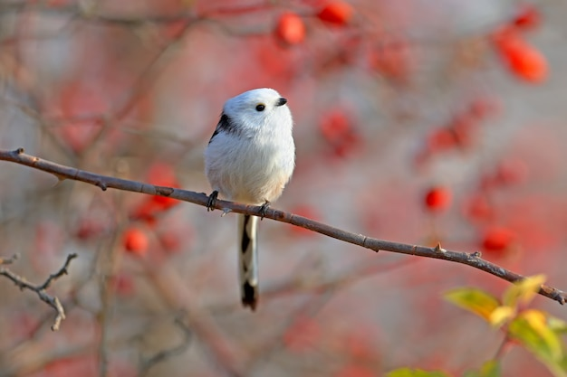 Mésange à longue queue ou bushtit à longue queue (aegithalos caudatus) se trouve sur une branche de rosier sauvage contre une des baies rouges et du ciel