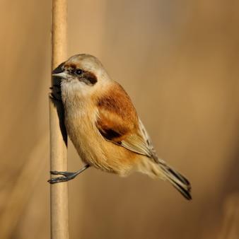 Mésange penduline européenne (remiz pendulinus) assis sur la canne.