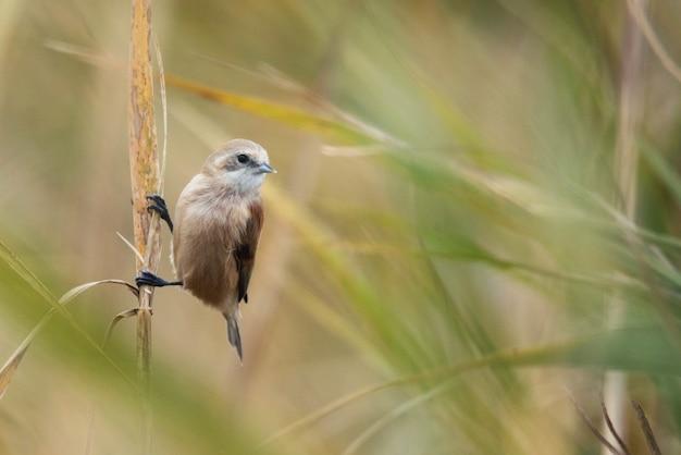 Mésange penduline européenne remiz pendulinus oiseau sauvage dans un habitat naturel
