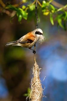 Mésange penduline européenne tenant l'herbe dans le bec et la construction d'un nid suspendu