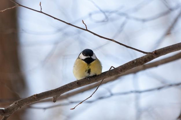 Mésange sauvage en hiver