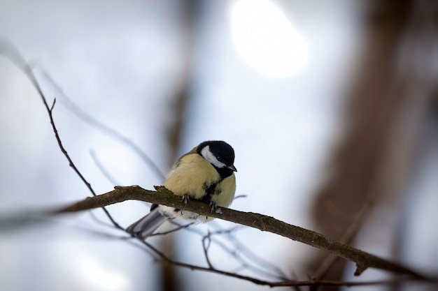 Mésange sauvage pendant la saison froide d'hiver, oiseaux hivernant en europe
