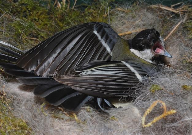 Mésange sur son nid
