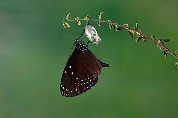 La métamorphose du papillon sur tige