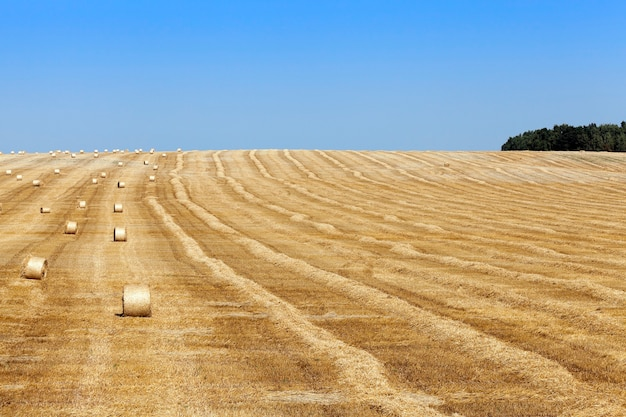 Meules de foin dans un champ de paille un champ agricole sur lequel se trouvent les meules de paille après récolte ciel bleu