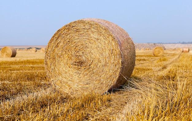 Meules de foin dans un champ de paille un champ agricole sur lequel sont disposées des meules de paille après la récolte de céréales, de blé