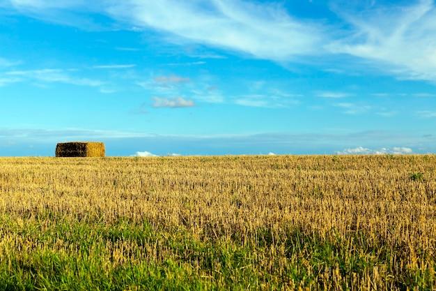 Les meules de paille empilées après la récolte dans le domaine agricole. à l'automne