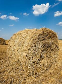 Les meules de paille se trouvant dans le domaine agricole après la récolte des céréales
