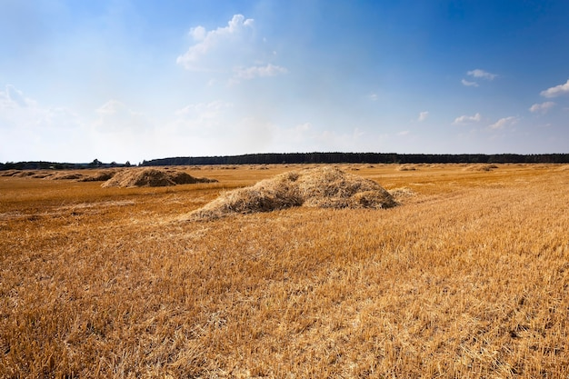 Les meules de paille se trouvant dans le domaine agricole après la récolte.