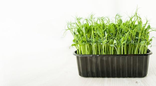 Micro-légumes frais dans un bac sur fond blanc. germes en croissance. nutrition adéquat. bannière de végétarisme. espace de copie.