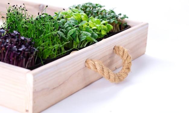 Micro-légumes mélangés dans des plateaux de culture dans une boîte en bois blanche. micropousses d'oignons, basilic et radis, nous cultivons des micropousses.