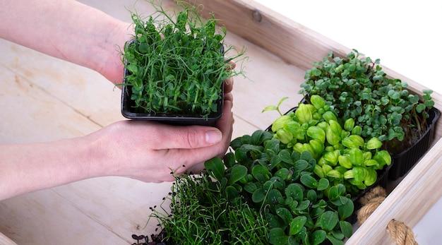 Micro-légumes mélangés dans des plateaux de culture dans une boîte de livraison en bois blanc. les mains des femmes mettent le plateau avec des micro-pousses dans la boîte. micropousses d'oignon, basilic et radis, livraison de micro pousses.