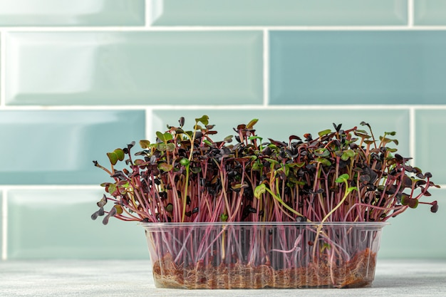 Micro pousses vertes poussant dans le bac dans la cuisine contre le mur de carreaux de menthe