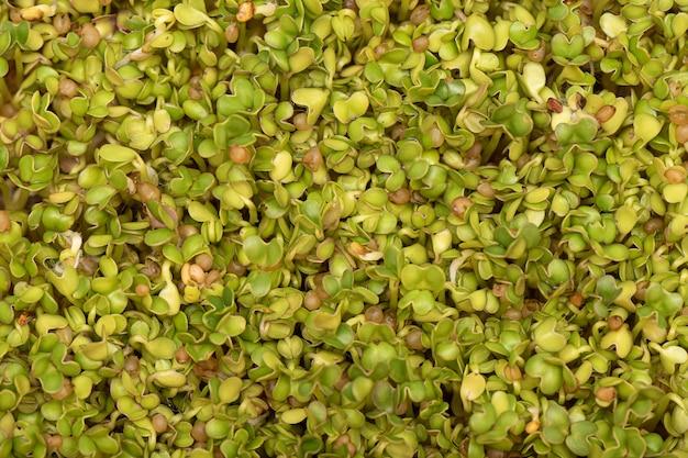 Micro verts. graines de moutarde germées sur un tapis de lin en arrière-plan.