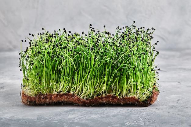 Micro verts, luzerne. une couche de microgreens sur une lumière