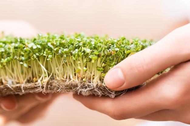 Microgreen. graines de moutarde germées sur un tapis de lin dans des mains féminines.