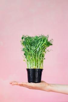 Microgreens dans un sac en pot, un sac à provisions ou un sac en papier, des aliments verts végétaliens sains et délicieux pour une alimentation saine, un déjeuner pour toute la famille, un menu végétarien pour une alimentation saine