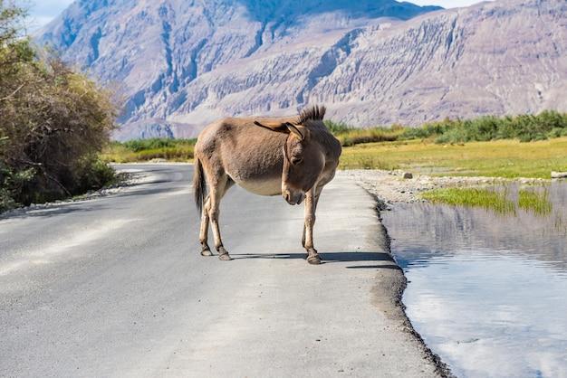 Mignon âne debout sur la route dans le paysage de la vallée de la nubra, leh, district de ladakh, en inde.