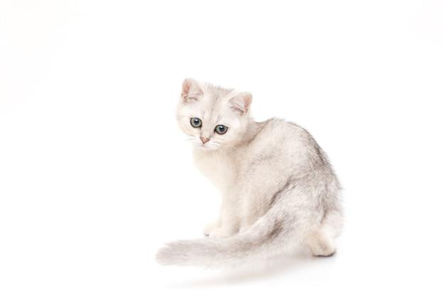 Mignon beau chaton de race britannique est assis sur un fond blanc.